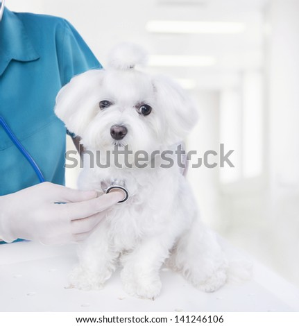 Doctor listening to a stethoscope veterinarian inspects a small Maltese puppy inside a light veterinary clinic - stock photo