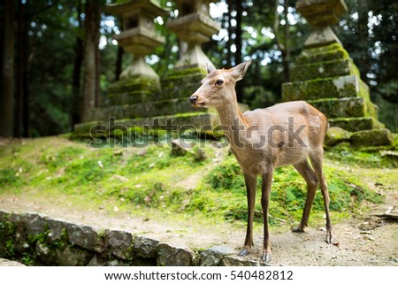 Doe deer in Nara park
