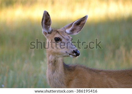 doe, hind, in the grass