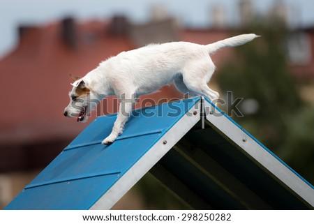 Dog agility - stock photo