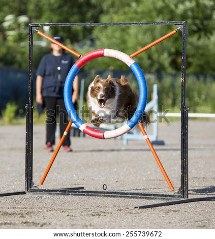 Dog agility in action - stock photo