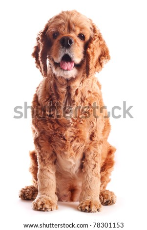 Dog american cocker spaniel - stock photo
