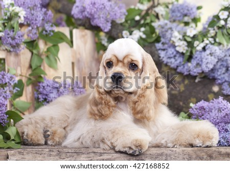 dog American Cocker Spaniel in blooming garden - stock photo