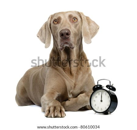 Dog and alarm clock isolated on white