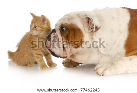 dog and cat - english bulldog and kitting looking in the same direction - stock photo
