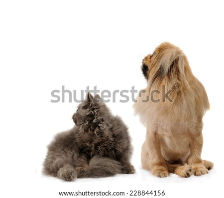 dog and cat side portraits sit looking up, on white isolated background  - stock photo