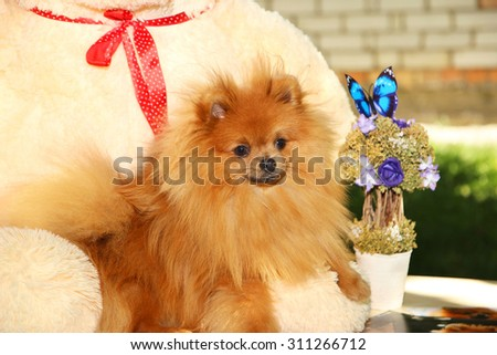 Dog and his toy. Portrait of lovely pomeranian dog with summer flowers on nature green background. Sunny dog. Happy dog. Dog man's best friend.