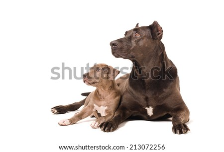 Dog and puppy pitbulls lying together isolated on white background - stock photo