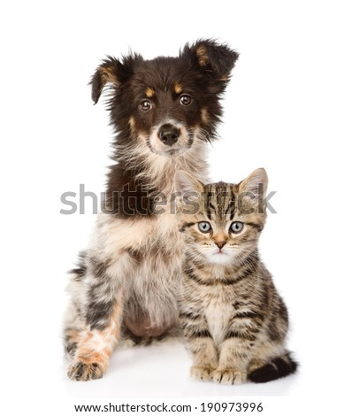 dog and Scottish kitten. looking at camera. isolated on white background