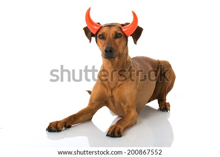 Dog as a devil isolated on white - stock photo