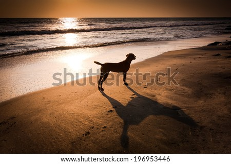 Dog at tropical beach under evening sun. India