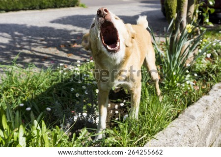 Dog Barking - stock photo