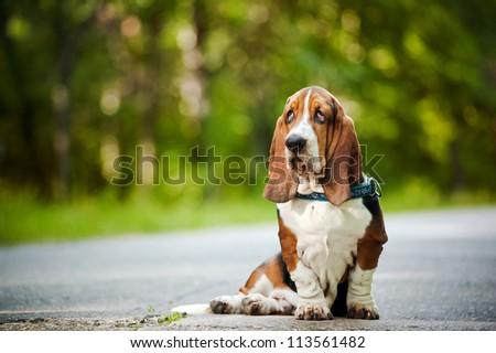 Dog Basset hound sitting and looks forward - stock photo