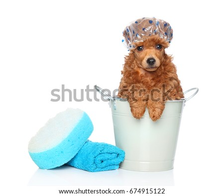 Dog bath day. Toy poodle sitting in a bucket near the towel and washcloth. Portrait on white background