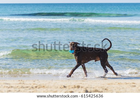 Dog beach stock image. Red Ridgeback playing with ball in the seaside, Tel Aviv, Israel
