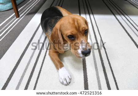 Dog Walking Around With Head Down Chewing At The Floor