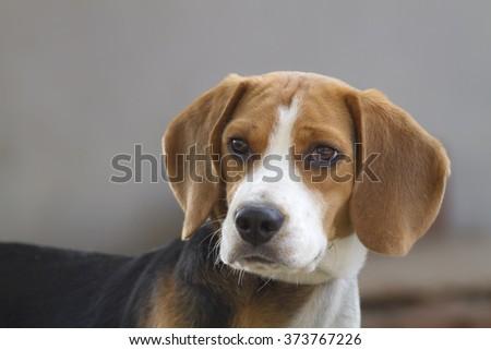 Dog,Beagle (Hound) - stock photo