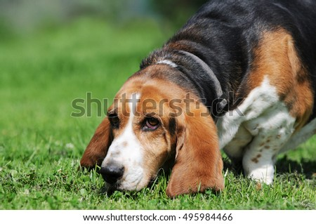 dog beagle running on meadow