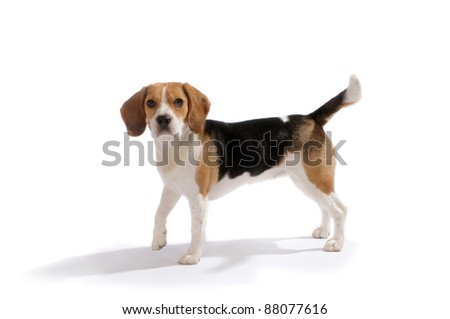 Dog (beagle) stands on white isolated background