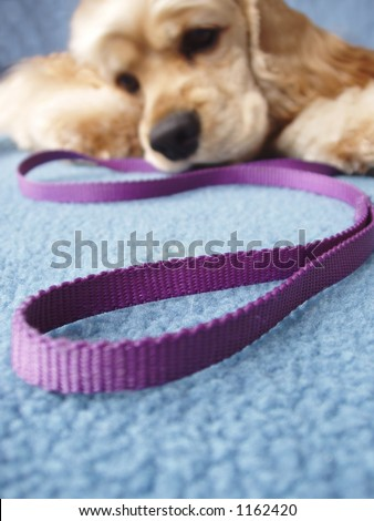 dog begging to go for a walk - stock photo