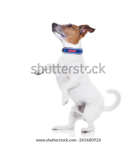 dog begging with high five gesture looking up to his owner, isolated on white background - stock photo