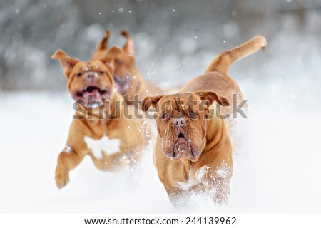 Dog Bordeaux dog - stock photo