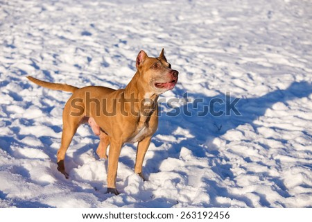 Dog breed American Pit Bull Terrier in snow - stock photo