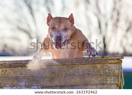 Dog breed American Pit Bull Terrier jumps over an obstacle - stock photo
