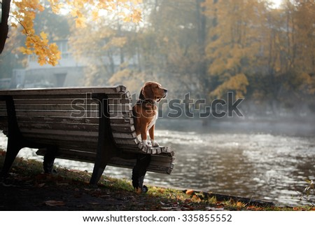 Dog breed Beagle walking in autumn park - stock photo