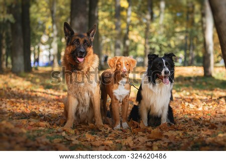 Dog breed Border Collie and German Shepherd and Nova Scotia Duck Tolling Retriever walking in autumn park - stock photo