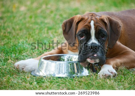 Dog breed Boxer on a green background - stock photo