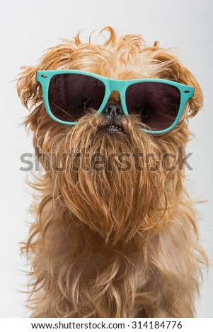 Dog breed Brussels Griffon in dark glasses - stock photo