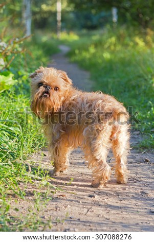 Dog breed Brussels Griffon walks in the Park along the path - stock photo
