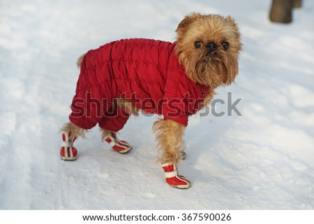 Dog breed Brussels Griffon walks in winter clothes and shoes