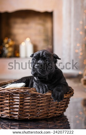 Dog breed Cane Corso puppy, portrait dog on a studio color background - stock photo