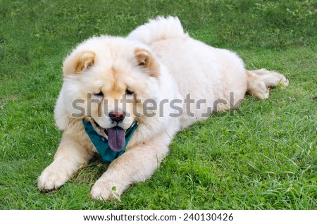 Dog breed chow lies on a green lawn