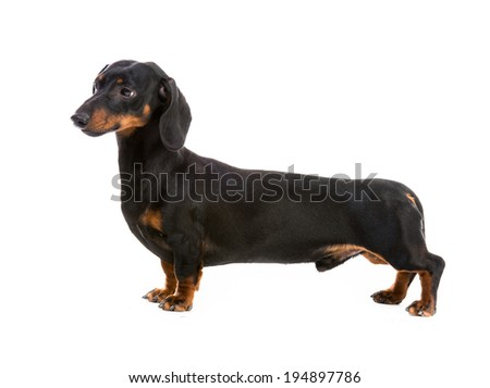 dog breed dachshund on white background - stock photo