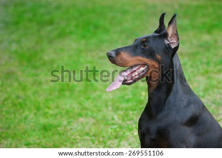Dog breed Doberman-Pinscher on a green background - stock photo
