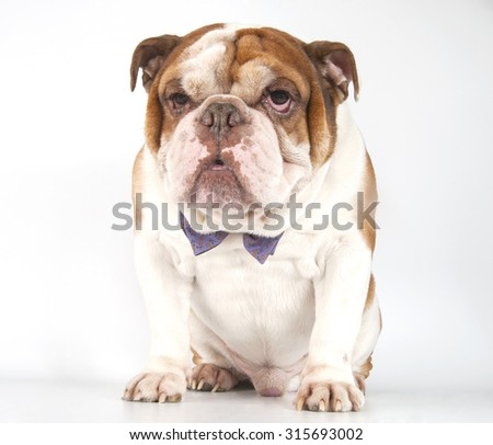 Dog breed English Bulldog in a bow tie.