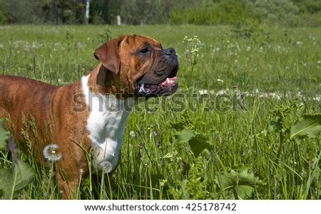 dog, breed german boxer, brown, strips, brown eyes, goes with a high grass across the field, nature, green, a white wool on breasts, a sunny day, a close up a muzzle