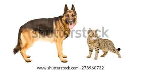 Dog breed German Shepherd and cat Scottish Straight standing together isolated on white background - stock photo