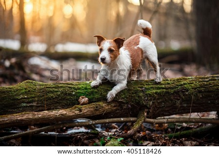 Dog breed Jack Russell Terrier walking in the forest, spring - stock photo