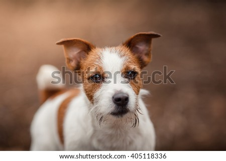 Dog breed Jack Russell Terrier walking in the park, spring - stock photo