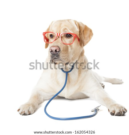 dog breed Labrador vet isolated on white background - stock photo