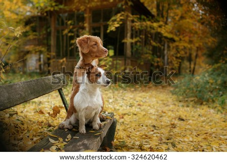 Dog breed Nova Scotia Duck Tolling Retriever and Jack Russell Terrier walking in autumn park - stock photo