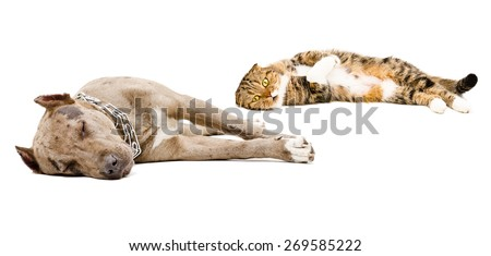 Dog breed pit bull and Scottish Fold cat sleeping together isolated on white background - stock photo