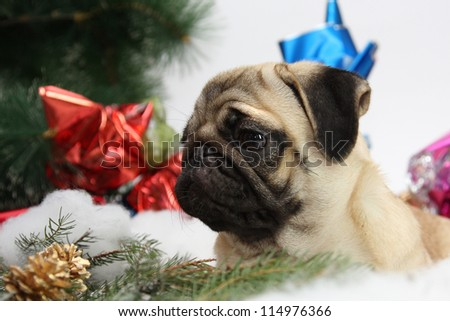 Dog breed pug with Christmas gifts and decorations - stock photo