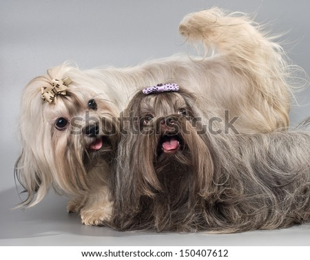 Dog Breed Russian color lap dog in studio - stock photo