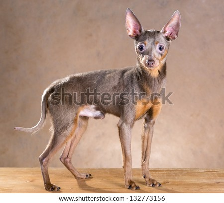 Dog breed Russian Toy Terrier on a beige background