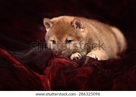 dog breed Shiba Inu puppy - stock photo